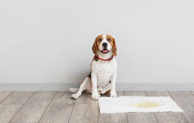 Obraz Cute dog near underpad with wet spot on floor - fototapety do salonu