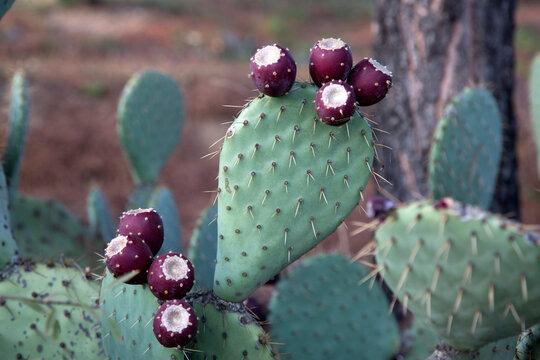Cactus in Dehesa de la Villa Park; Madrid