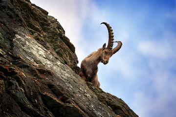 Obraz Ibex portrait. Switzerland wildlife. Ibex, Capra ibex, horned alpine animal, close-up detail portrait, animal in the stone nature habitat, Alps. Blue sky, wildlife nature. - fototapety do salonu