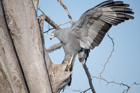 An African harrier-hawk, Polyboroides typus, clings to a tree