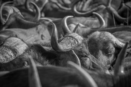 A herd of buffalo, Syncerus caffer, in black and white