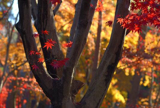 夕陽のスポットライトに映える紅葉