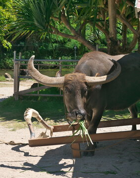 Okinawa,Japan - July 13, 2021: A water buffalo towing cart in Yubu island, Okinawa, Japan