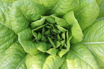 Lettuce bush with juicy ripe lettuce among large lettuce leaves and small lettuce leaves