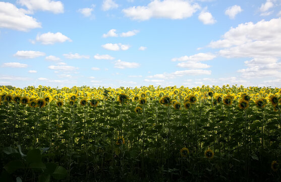 Behind of sunflowers, they turn themselves to the direction where temple is located. Sunflower field, Rai Ponthip at Saraburi.