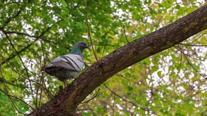 Obraz Ptak gołąb na gałęzi drzewa w parku - fototapety do salonu