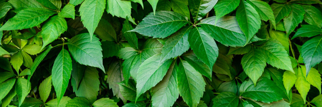 Virginia creeper plant banner. Natural floral pattern. Lush dark green foliage of a parthenocissus plant.