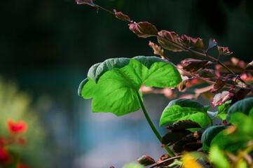 Fototapeta Tło roślinne z dużym, podświetlonym liściem na rozmytym tle  obraz