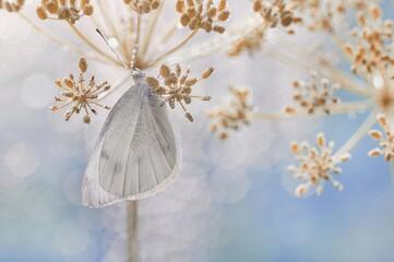 Obraz Biały motyl - Pieris brassicae - fototapety do salonu