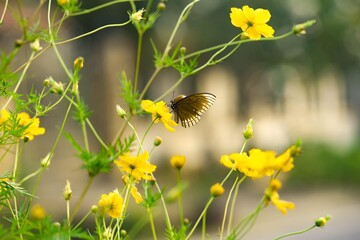 Yellow Cosmos,Butterfly on yellow flowers ,Nature yellow and green in the home garden,Beautiful and...
