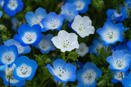 White nemophila flowers in blue flowers , shikoku, japan