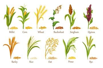 Fototapeta Grass cereal crops, agricultural plant vector illustration. Set heap grains seeds, farm crop harvest. Cereal plants of rice, wheat, corn, rye, barley, millet, buckwheat, sorghum, oat, quinoa, proso. obraz