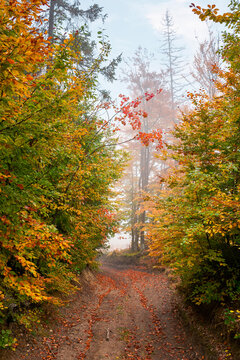 country road through autumn forest. beech trees in colorful foliage. beautiful nature scenery on a foggy morning. travel back country concept