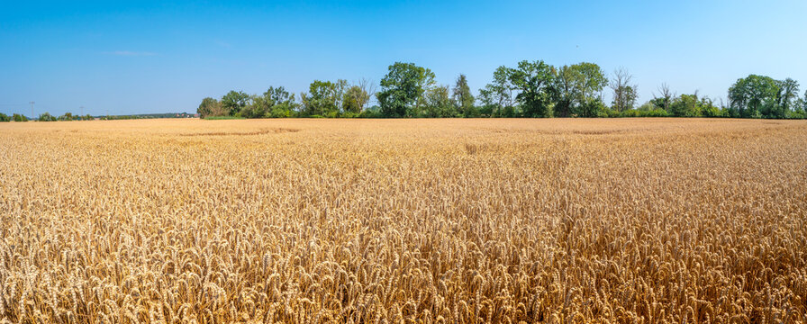 Panoramic view over beautiful farm landscape of mellow wheat crops in late Summer with deep blue sky at sunny day.