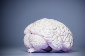 Fototapeta Photo of the human brain model view from side obraz