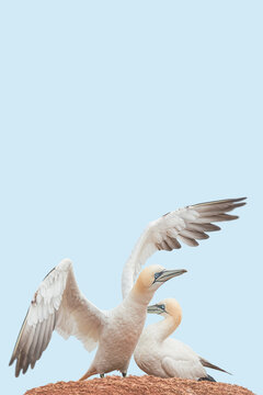 Cover page with a couple of wild North Atlantic gannets sitting at nest at blue sky solid background and copy space. Concept biodiversity, animal welfare and wildlife conservation.
