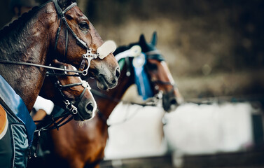 Obraz Portrait sports brown stallions in the bridle after the competition with premium rosettes. Equestrian sport. - fototapety do salonu