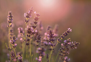Fototapeta Kwiaty lawendy  obraz
