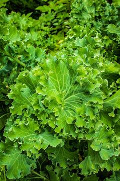 Lettuce growing in the summer garden