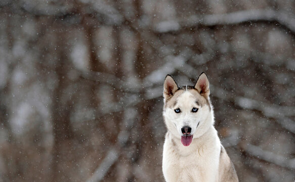 beautiful white husky in the woods during winter, snowing day, with trees in the back, cold day