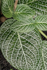 Obraz White Nerve Plant (Fittonia verschaffeltii argyroneura) evergreen perennial leaves, family: Acanthaceae - fototapety do salonu