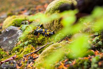 Fototapeta Dwarf forest under the top of Mount Tołsta, Bieszczady Mountains, Polańczyk, Solina, Terka / Karłowy las pod szczytem góry Tołsta, Bieszczady góry, Polańczyk, Solina, Terka obraz