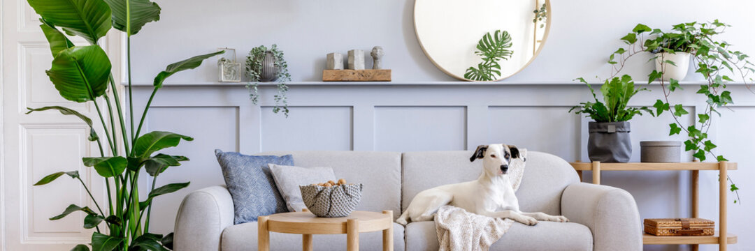 Interior design of living room with stylish grey sofa, coffee table, tropical plant, mirror, decoration, pillows and elegant personal accessories in home decor. Beautiful dog lying on the couch.