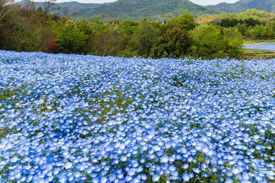 Blue Nemophila flowers in the field ,Shikoku, Japan