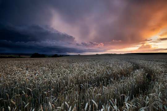 wheat field with dramatic storm sky at sunset