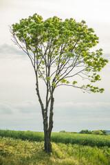 Fototapeta Samotne drzewo na polu obraz