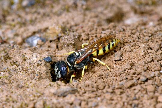 Bienenwolf beim Graben eines Nestes // European Beewolf (Philanthus triangulum)