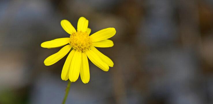 Schmalblättriges Greiskraut // narrow-leaved ragwort, South African ragwort (Senecio inaequidens)