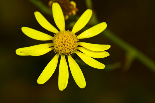 Narrow-leaved ragwort, South African ragwort // Schmalblättriges Greiskraut (Senecio inaequidens)