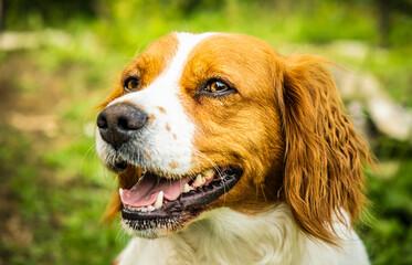 Brittany Spaniel dog outside. Closeup of female dog