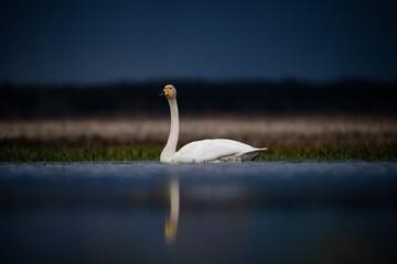 Wild swan in nature