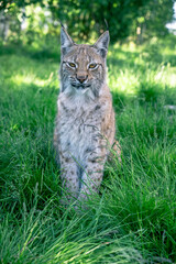 Baby Lynx in the grass.