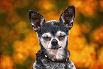 cute chihuahua in front of flowers or fall leaves