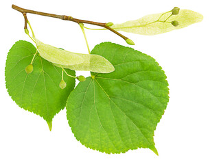Branch of the linden tree with green leaves isolated on white background