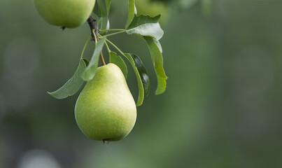 Close-up of ripe organic cultivar pear in the summer garden.