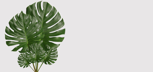Green monstera leaves on gray background.