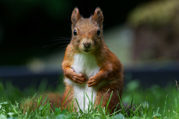 portrait of a squirrel on a meadow looking into the camera