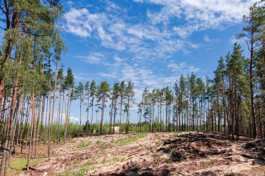 Cutting site in pine forest prepared for new plantings