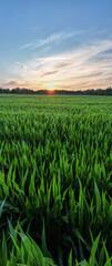 Luchtpanorama genomen door een drone van een maïsveldlandbouw onder een avondrood. Groene natuur. Landelijke landbouwgrond in de zomer. Plantengroei. Landbouw scène. Buiten landschap. Biologisch blad. Bijsnijden