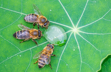 honey bee, Apis mellifera drinking water from a dewy leaf