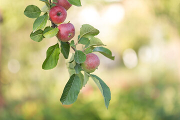 Ripe organic apples on a branch with leaves in the summer garden.