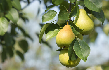 Ripe organic pears on a branch with leaves in the summer garden.