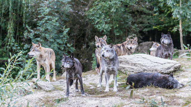Herd Of Wolves In A Forest