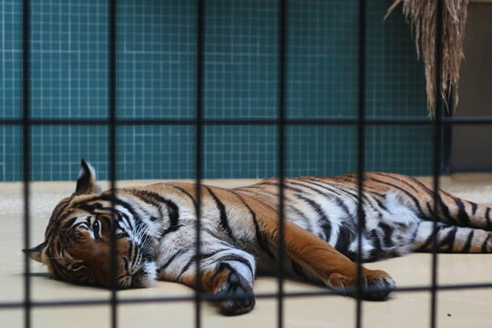 Tiger Resting In A Zoo