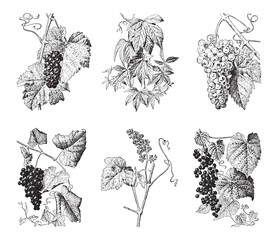 Grape collection - vintage engraved vector illustration from Larousse du xxe siècle