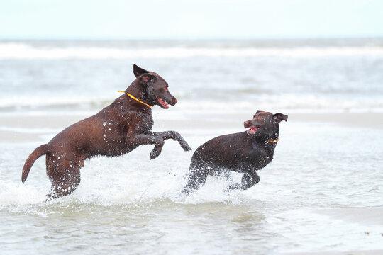 Zwei Braune Labradore spielen am Strand im Wasser